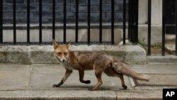 2020年4月29日英国因冠状病毒处于封锁状态,一只狐狸在伦敦唐宁街上行走。