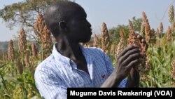 A farmer looks at a sprig of sorghum, called dura in South Sudan.