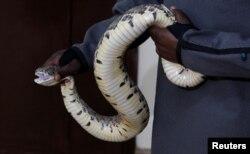 """Seorang pawang ular bersiap mengambil bisa dari seekor """"Puff Adder Africa"""" di pusat penelitian dan intervensi gigitan ular di Nairobi, Kenya, 22 Oktober 2019. (Foto: dok)."""