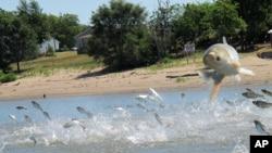 伊利諾伊州河上跳躍的亞洲鯉魚。(資料圖片)