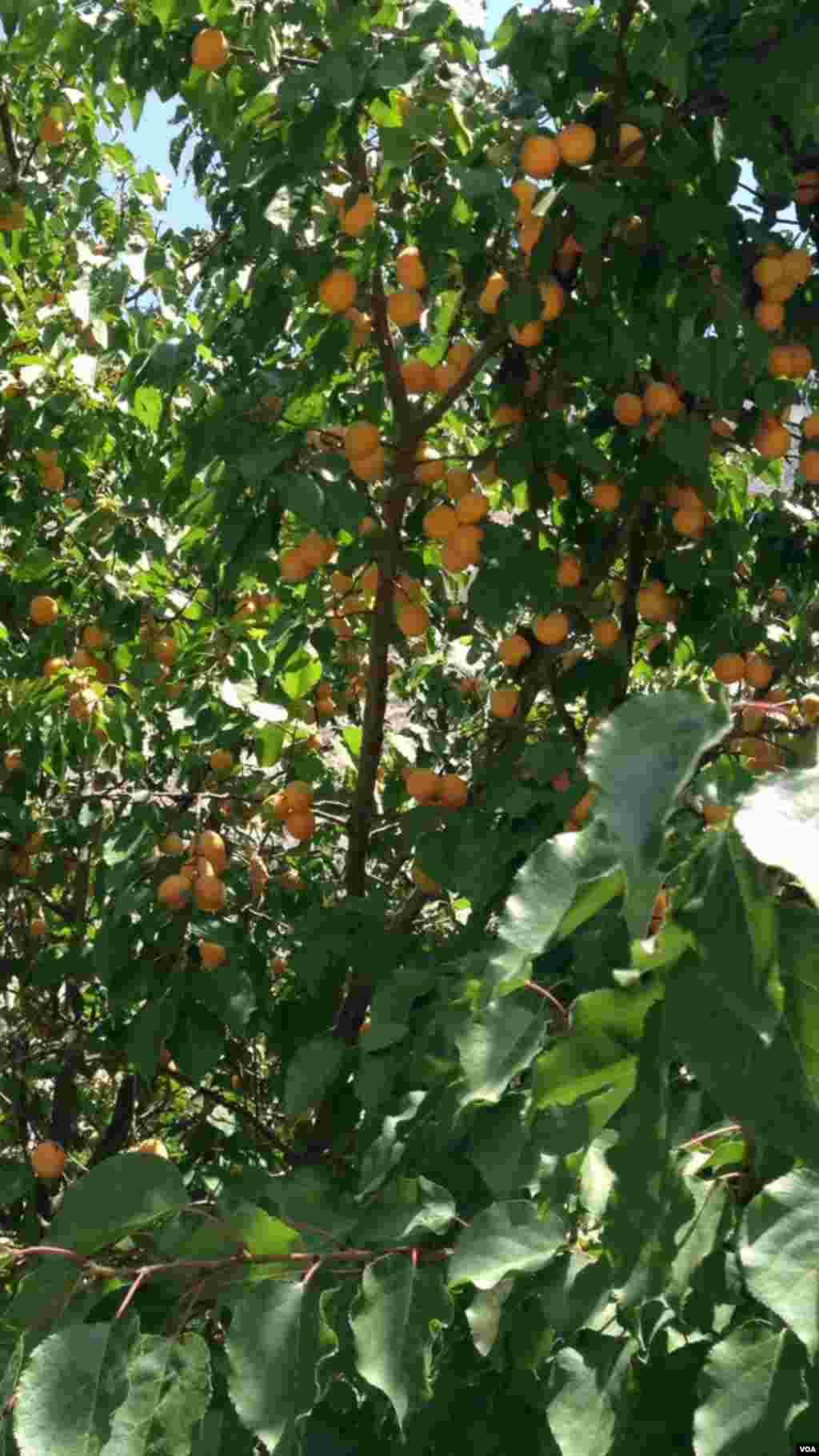 خوبانی کے ایک باغ میں شاخوں سے جھولتی ہوئی سنہری خوبانیاں اپنی بہار دکھا رہی ہیں۔