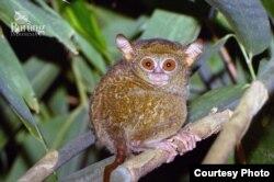 Tarsius Pulau Peling (Tarsius Tarsius pelingenses), primata nokturnal yang bisa memutar kepalanya 180 derajat. (Foto: Riza Marlon/Burung Indonesia)