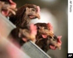 香港加強預防禽流感措施