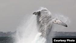 Une baleine à bosse photographiée en 2014. Les baleines à bosse sont les plus grandes et les plus longues.