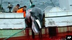 Seekor paus dinaikkan ke sebuah kapal nelayan setelah dibunuh di Samudra Atlantik di barat pesisir Islandia, 23 Agustus 2003.