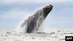 Riset mendapati penggunaan sonar di laut sangat mengganggu kehidupan ikan paus dan lumba-lumba (foto; dok).