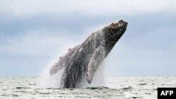 Paus bungkuk terlihat melompat ke permukaan Samudera Pasifik di cagar alam Urambia Bahia Malaga di Colombia