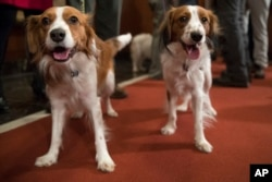 Nederlandse kooikerhondje Escher, right, and Rhett are shown during a news conference at the American Kennel Club headquarters, Wednesday, Jan. 10, 2018, in New York. The club announced that it's recognizing the Nederlandse kooikerhondje and the grand bas