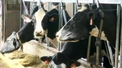 Vacas sin estrés producen más leche