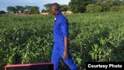 An agriculture extension worker in Zambia inspects maize fields in the wake of an armyworm invasion. (Courtesy - Derrick Sinjela in Zambia)