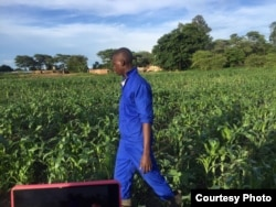 FILE: An agriculture extension worker in Zambia inspects maize fields. Zambia, South Africa and other neighboring nations are facing dry spells.(Courtesy - Derrick Sinjela in Zambia)