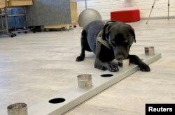 کرونا وائرس کی شناخت کے لیے ایک کتے کو تربیت دی جا رہی ہے۔