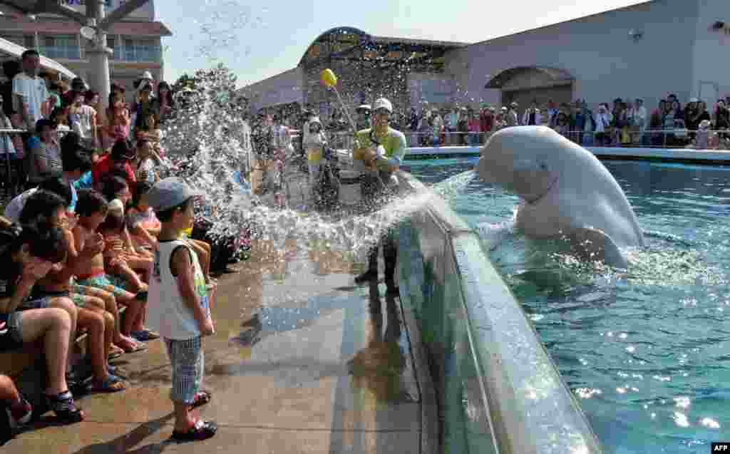 A beluga whale sprays water onto visitors at a summer attraction at the Hakkeijima Sea Paradise aquarium in Yokohama, suburban Tokyo, Japan.