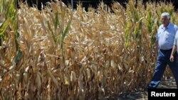 Un champ de maïs de l'Iowa (Photo AP)