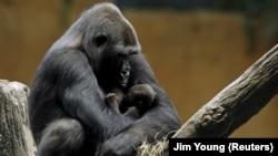Gorila dataran rendah barat Kamba menggendong putranya yang berusia satu hari, Zachary di Kebun Binatang Brookfield di Brookfield, Illinois, Amerika Serikat, 24 September 2015, sebagai ilustrasi. (Foto: REUTERS/Jim Young)