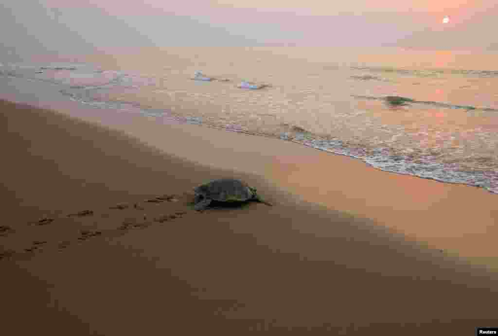 An Olive Ridley turtle returns to sea after nesting, at Rushikullya beach in the eastern Indian state of Odisha. Hundreds of Olive Ridleys, a species of sea turtles, arrive annually on India's east coast for mass nesting.