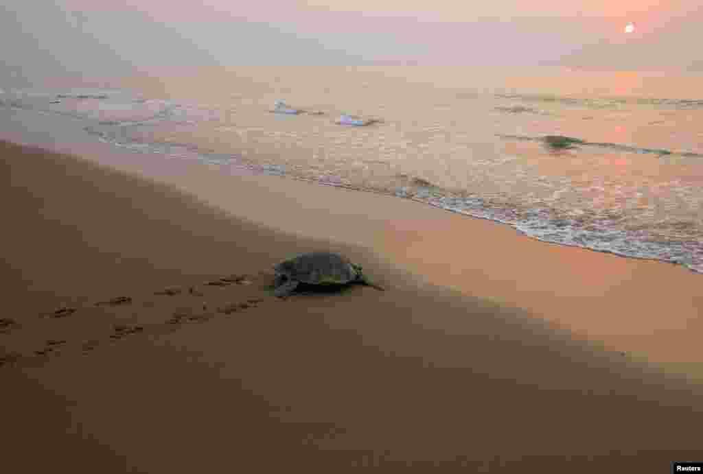Một con rùa biển Olive Ridley rùa biển bò ra biển sau khi làm ổ đẻ trứng, tại bãi biển Rushikullya ở bang Orissa miền đông Ấn Độ. Hàng trăm con rùa biển Olive Ridley mỗi năm lại bơi vào bờ biển phía đông của Ấn Độ để làm ổ hàng loạt.