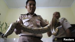 Polisi memegang ular piton yang gagal diselundupkan di kantor karantina binatang di Medan, Sumatera Utara. (Foto: Dok)