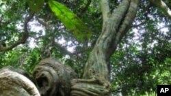 การวิจัยระบุว่าเถาวัลย์ทำให้ต้นไม้ในป่าเขตร้อนแถบอเมริกากลางและอเมริกาใต้โตช้า ตายเร็วขึ้นและลดธาตุคาร์บอนที่ป่าซึมซับ