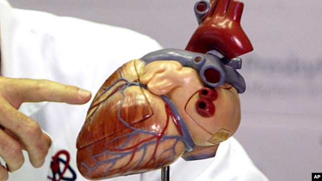 FILE - A model of a human heart is shown. Scientists say they have successfully rebuilt a mouse heart using stem cells.