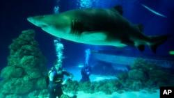 Un requin en aquarium, le 2 juillet 2009.