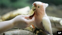 A cockatoo similar to this one, named Dino - due to his annoying dinosaur-like screech, has been returned to his owner after being on the loose for weeks.