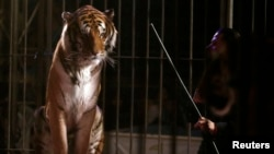 A trainer stands next to a tiger during a show at the Cedeno Hermanos Circus in Mexico City, March 9, 2015.