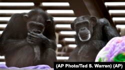 Foxie, right, and Annie, left, two chimps who live at Chimpanzee Sanctuary Northwest near Cle Elum, Wash., during a party for Foxie's 40th birthday. (AP Photo/Ted S. Warren)