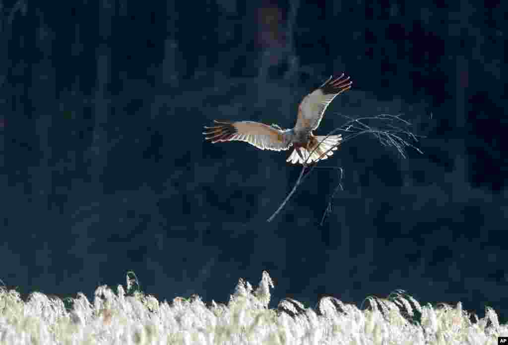 A marsh harrier carries a branch to build a nest in a forest near the village of Piatrylava, Belarus.