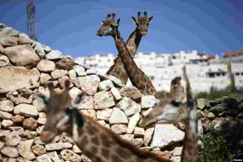 Giraffes look out from their enclosure at Jerusalem's Biblical Zoo.