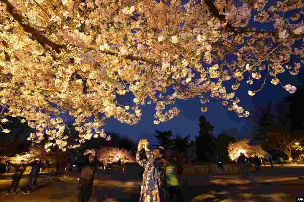 """2018年4月12日夜晚,游客在中国山东省青岛的中山公园拍摄樱花照片。""""只恐夜深花睡去"""",故用手机留芳菲?"""