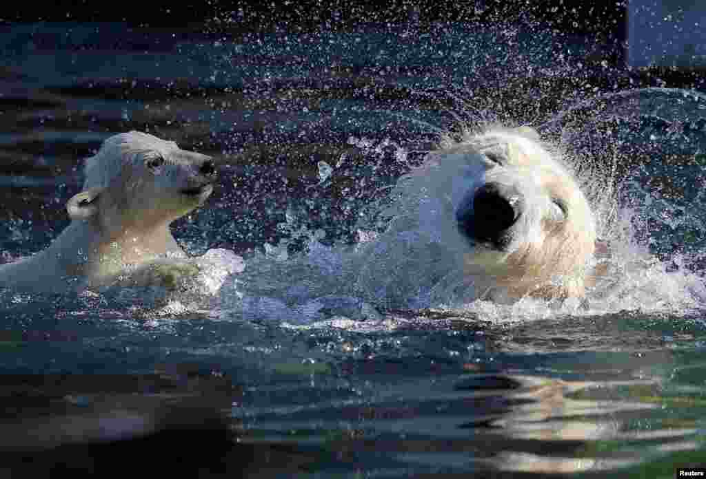 Bayi beruang kutub, Nanuq, bermain di air bersama induknya, Sesi, di kebun binatang Mulhouse, Perancis.