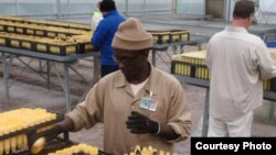 Inmate Joseph Njonge at work in the Stafford Creek Corrections Center conservation nursery. (Tom Banse/VOA)