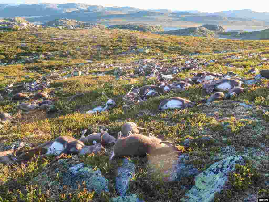 Dead wild reindeer are seen on Hardangervidda in Norway, after lightning struck the central mountain plateau and killed more than 300 of them.