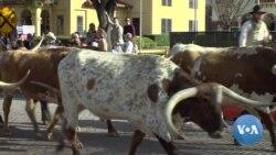 VOA英语视频: 保守州德克萨斯超级星期二或会支持桑德斯
