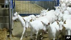 Najbrže rastući segment stočarstva u SAD - uzgoj koza!