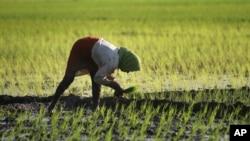 印度妇女插秧