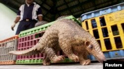 FILE- Poachers covet the pangolin, or scaly anteater, for its scales. Here, a wildlife officer oversees an animal in Kuala Lumpur.