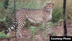 Fences block many of the hunting routes of cheetahs. (Credit: John Wilson)