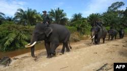 Patroli petugas yang menaiki gajah di koridor Taman Nasional Leuser, Aceh Selatan, April 2016. (AFP/Chaideer Mahyuddin)