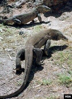 Komodo-komodo di Pulau Komodo, provinsi Nusa Tenggara Timur.