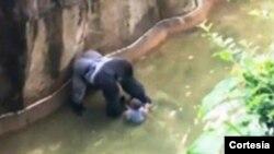 Adormecer al gorila no lo hubiera noqueado de inmediato, por lo que el menor seguiría en riesgo.