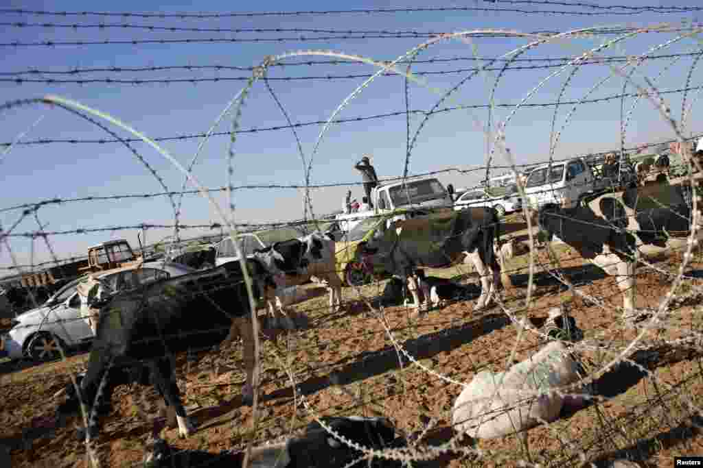 Syrian Kurds with their livestock wait behind a border fence near the southeastern town of Suruc in Sanliurfa province, Sept. 22, 2014.