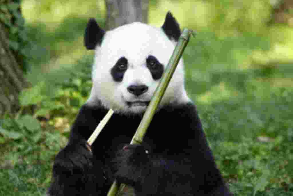 Tian Tian nació en el Centro de investigación y Conservación del panda gigante de China, en Wolong el 27 de agosto de 1997.