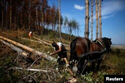 A worker ties a pine tree to a horse to remove it from an area where trees are affected by bark beetle attacks near the town of Breznik, Bulgaria, Sept. 8, 2016.