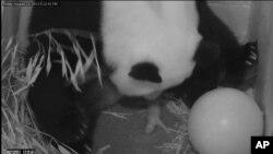 8月23日,大熊貓美香在華盛頓國家動物園產下一頭幼熊