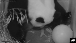 In this image from video provided by the Smithsonian National Zoo, Mei Xiang gives birth to a cub two hours after her water broke, Aug. 23, 2013, at the National Zoo in Washington.