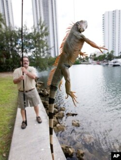 Trapper Brian Wood uses a fishing pole with a wire attached to snare an iguana behind a condominium in Sunny Isles Beach, Fla., Feb. 9, 2017. Perched in trees and scampering down sidewalks, green iguanas are so common across area suburbs that many see them as reptilian squirrels instead of exotic invaders.