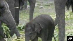 ຊ້າງນ້ອຍອາຍຸ 3 ເດືອນ ຊື່ນາງ ກຣິສຕີນາ ເປັນຊ້າງຊູມັດຕຣາ ທີ່ຫາຍາກ ກຳລັງຍ່າງໄປກັບໝູ່ຂອງລາວ ໃນສວນສັດ Prigen Safari ຢູ່ເມືອງ Pasuruan, ເກາະຈາວາຕາເວັນອອກ ທີ່ອິນໂດເນຍ ໃນວັນທີ 18 ມີນາ, 2010. (AP Photo/Trisnadi)