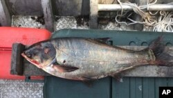 This June 22, 2017, file photo provided by the Illinois Department of Natural Resources shows a silver carp that was caught in the Illinois Waterway, approximately nine miles away from Lake Michigan.